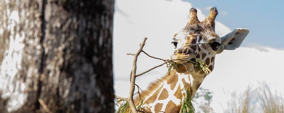 Manejo de jirafas